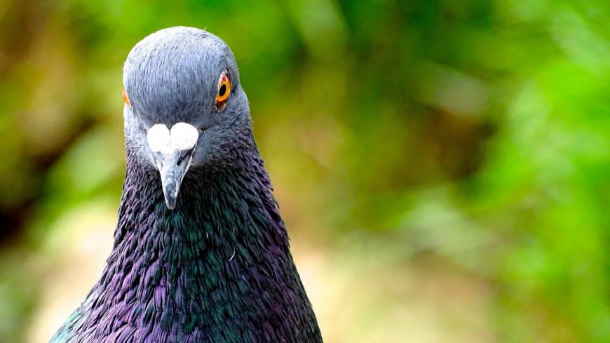 """Insolite : un """"pigeon de sport"""" vendu 1.6 million d'euros !"""