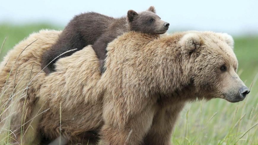 La vidéo d'une maman ours faisant traverser la route à ses petits fait craquer la toile ! (vidéo)